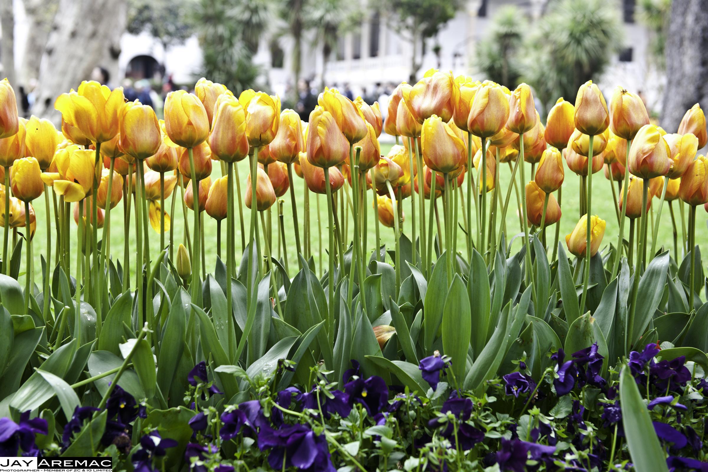 Consejos básicos para el cuidado de los Tulipanes