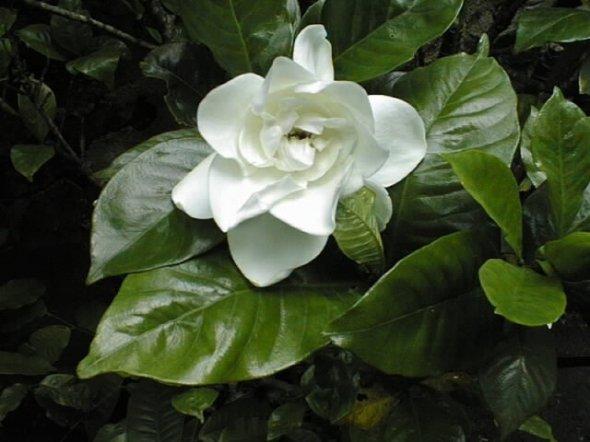 Cómo plantar Gardenias