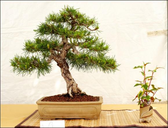 Cultivo de bonsai