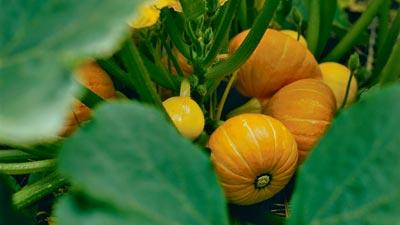 cultivar calabaza en macetas
