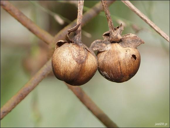 Árboles de frutos secos (Parte II)