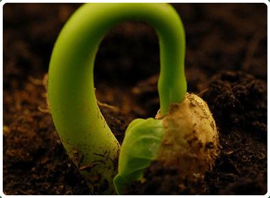 germinar-planta