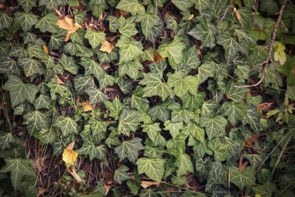 Una trepadora de crecimiento rápido, la hiedra