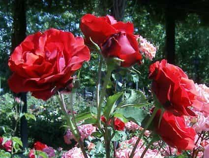 rosales-verano
