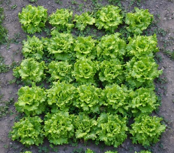 Recolección de hortalizas