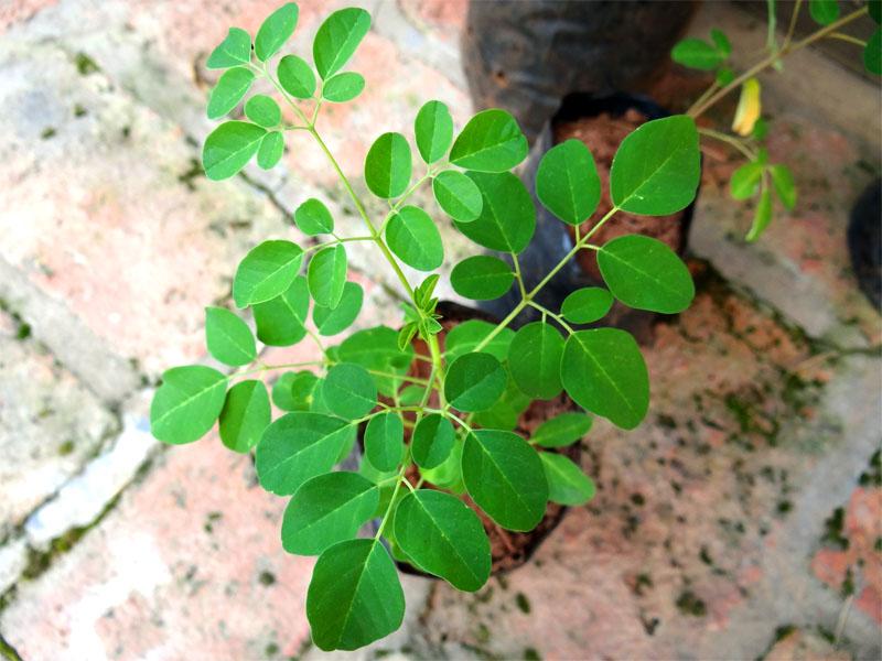 Beneficios de la Moringa, el árbol con más proteínas que la leche