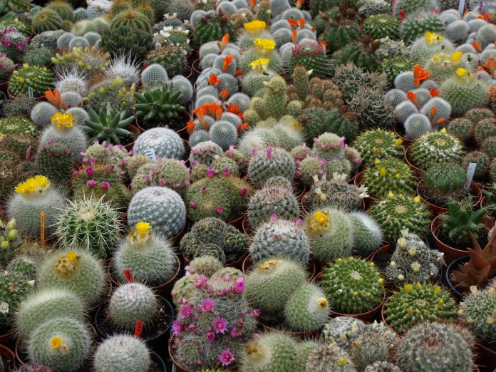 Cactus símbolo del amor