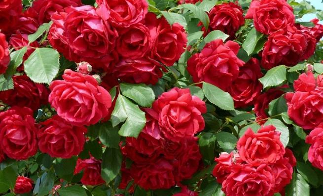 Cuidados-de-las-rosas-en-otoño