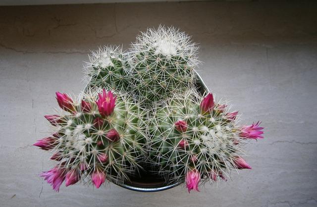 Flores de cactus para Navidad