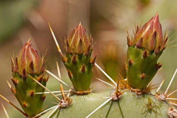 Multiplicación del cactus