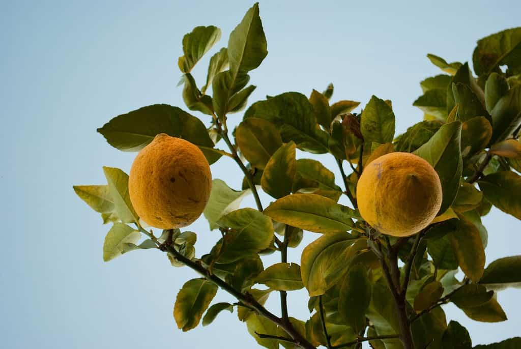 Cuidados basicos para citricos