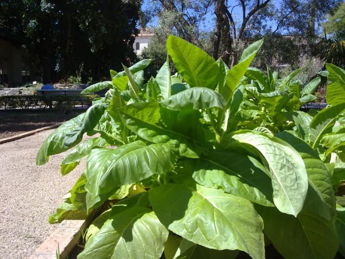 cultivar tabaco