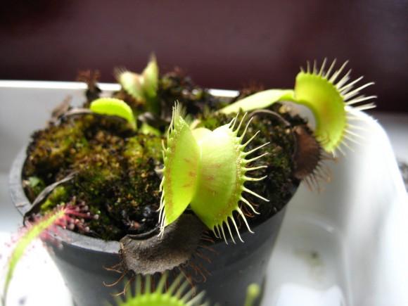 Cuidados de  plantas carnívoras