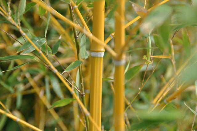 planta de bambu
