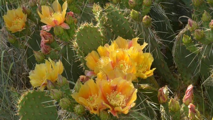 Reproduccion de cactus