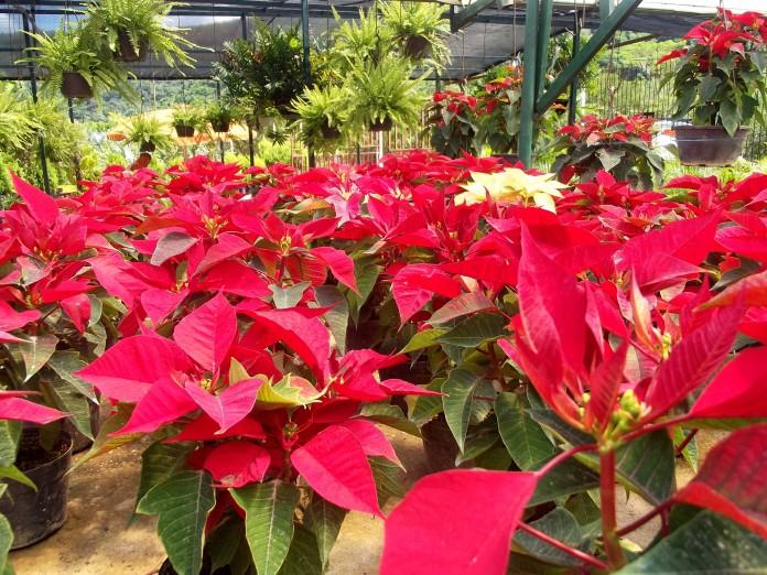 Conservar la Flor de Navidad