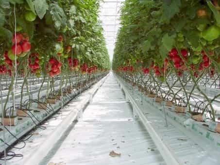 Cultivar tomates de invernadero en invierno