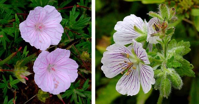 Flores de los geranios duren más