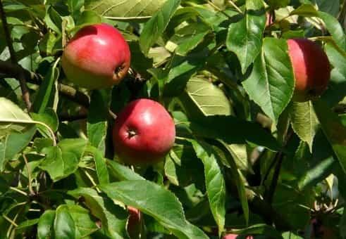 Frutas del manzano