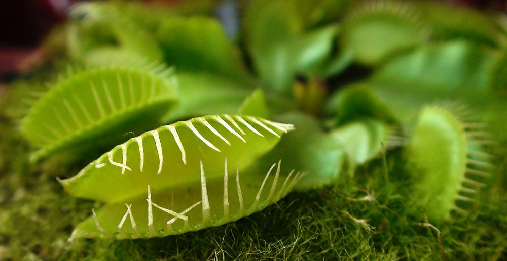 Plantas carnívoras, sus cuidados (Parte VI)