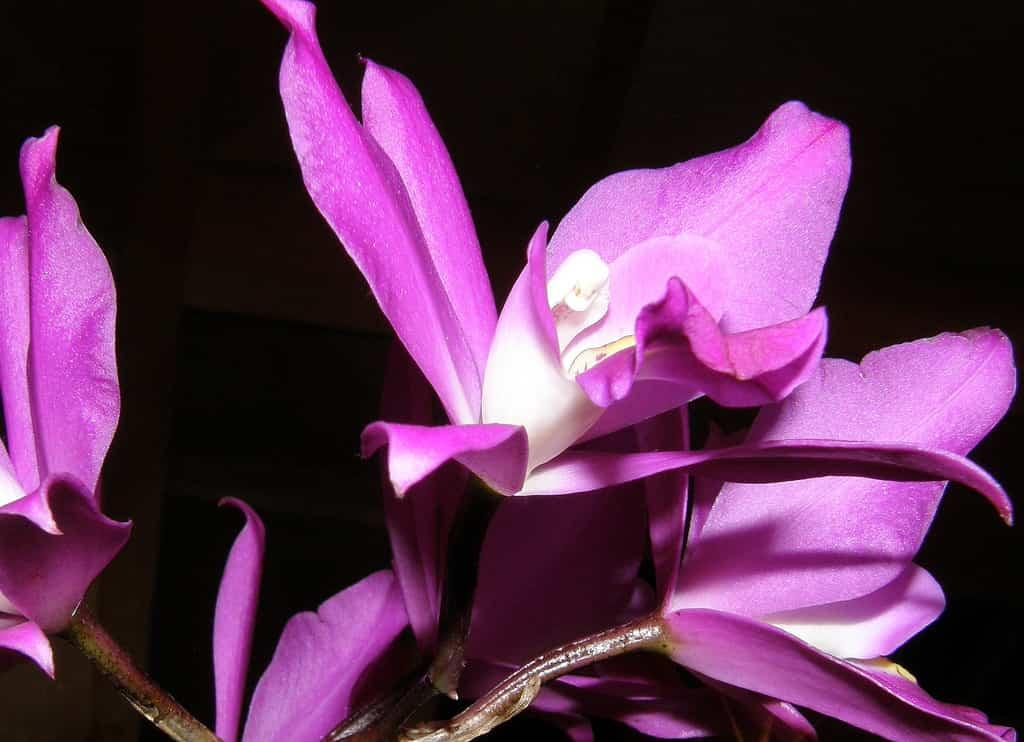 Regar las orquídeas