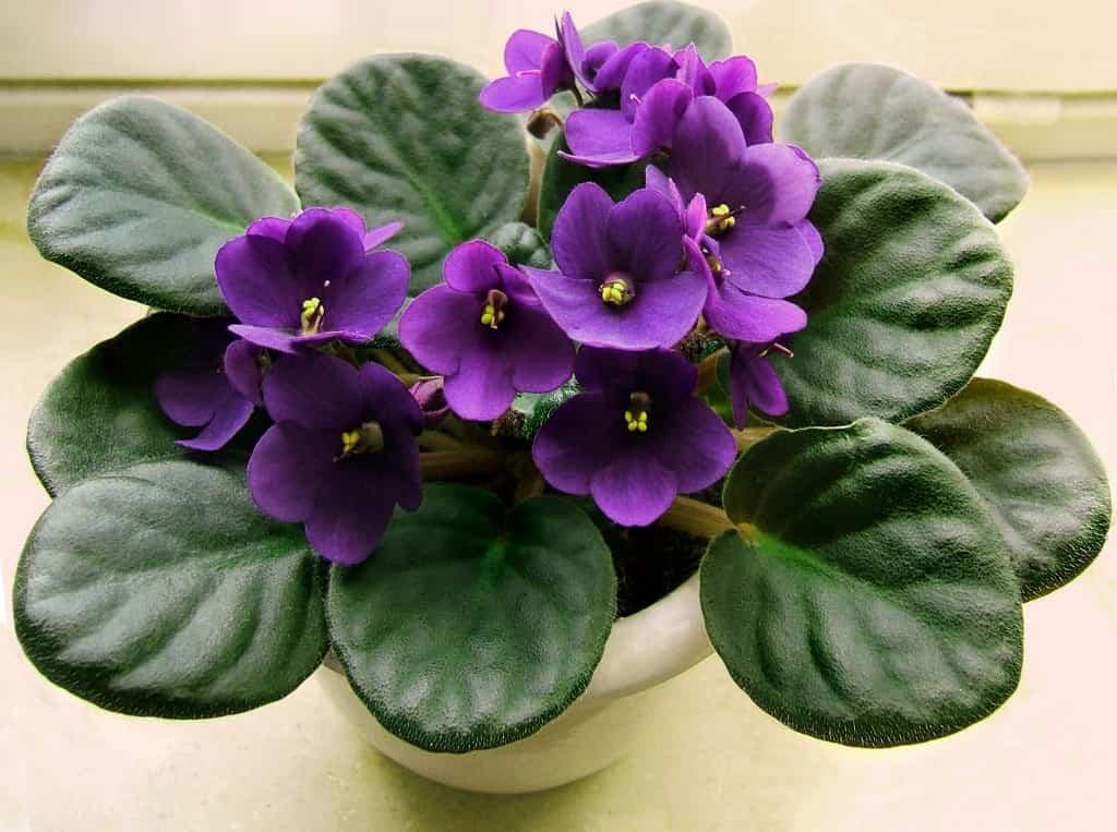 Cuidar una violeta africana