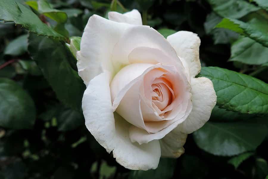 Abonado de los rosales