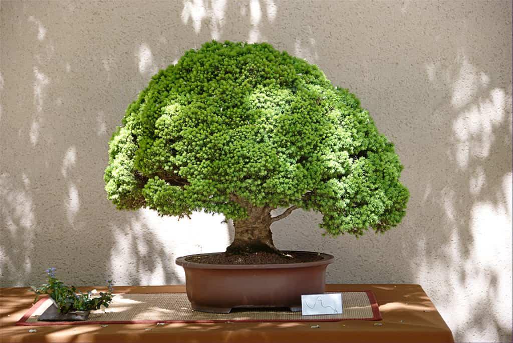 Arte del bonsai