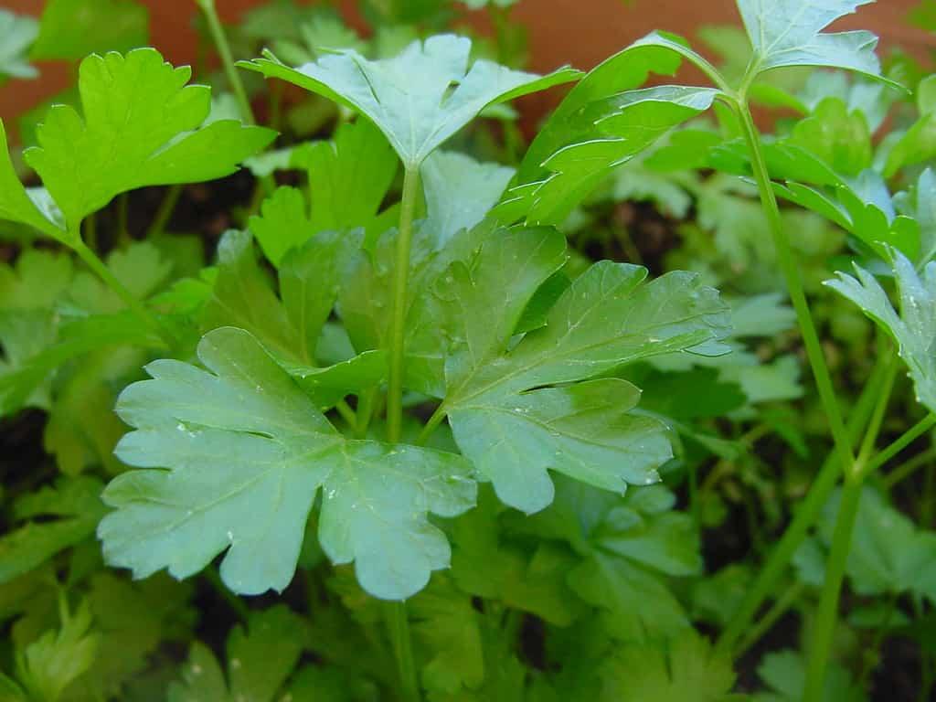 Plantas curativas