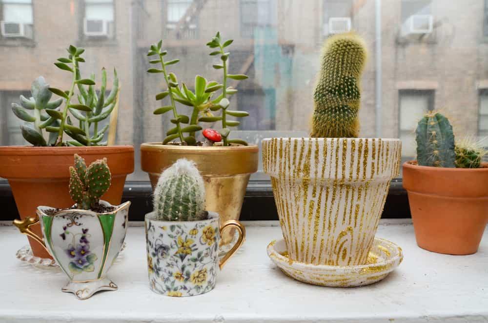 cuidar un cactus de interior