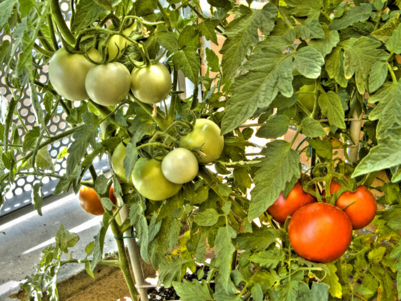 tomatera