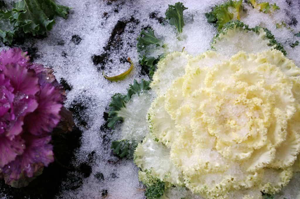 plantas heladas