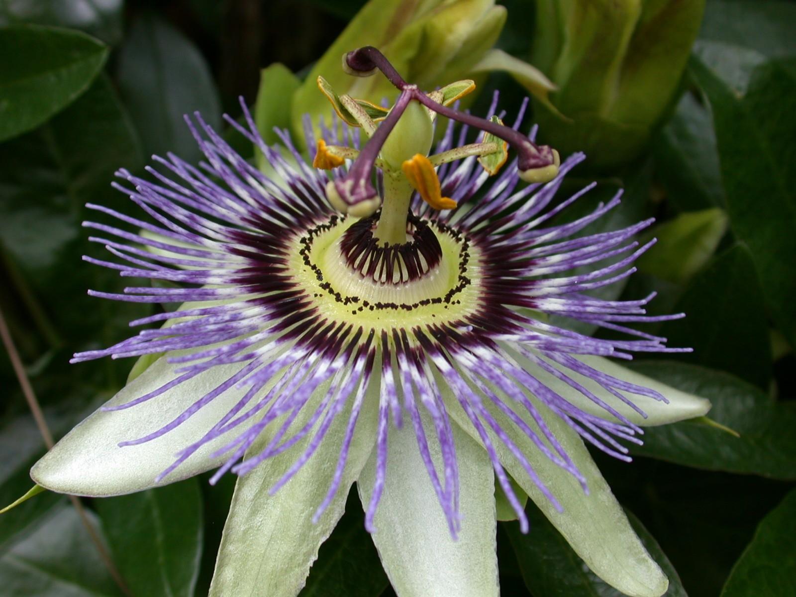 Características de la Passiflora 1