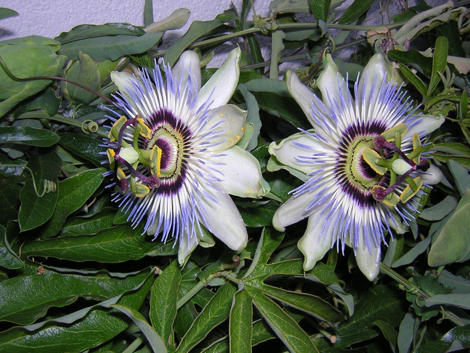 Características de la Passiflora 3