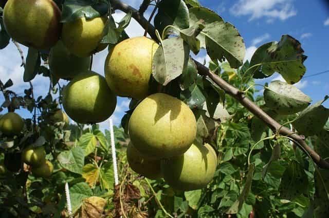Cultivar perales en macetas 1