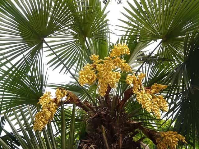Tipos de palmeras 1