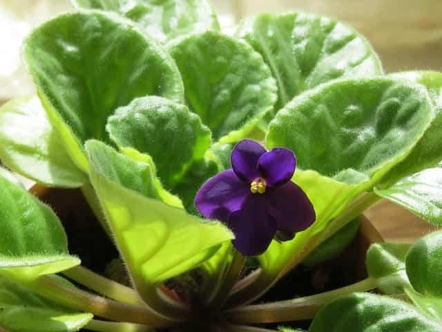 Violeta africana 1