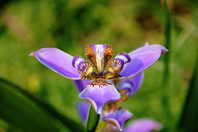Flor de lis 1