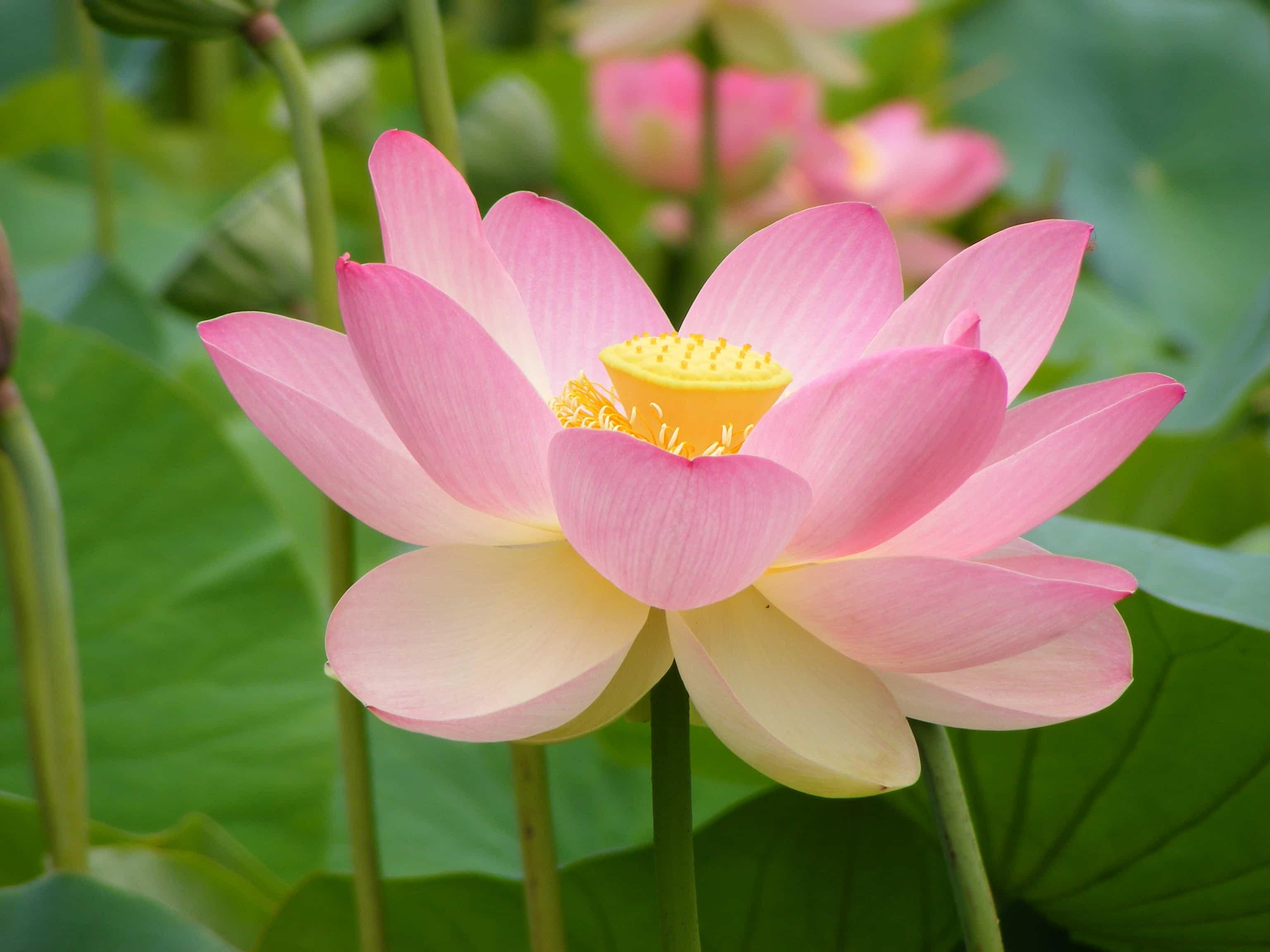 Significado y cuidados de la Flor de loto