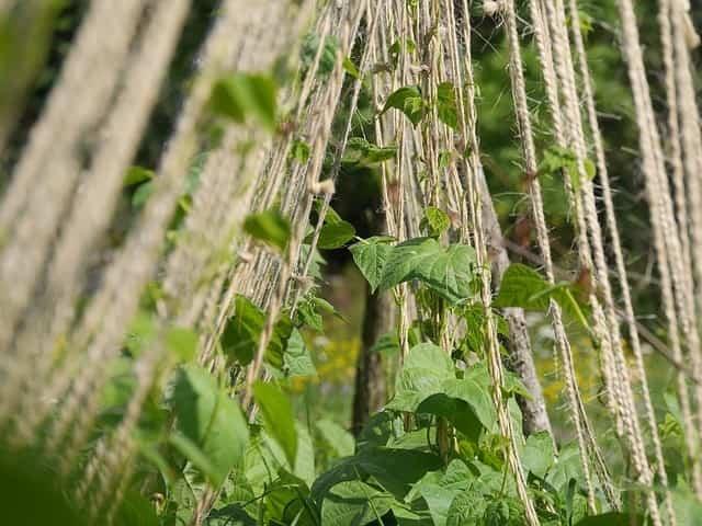 Plantas trepadoras 1