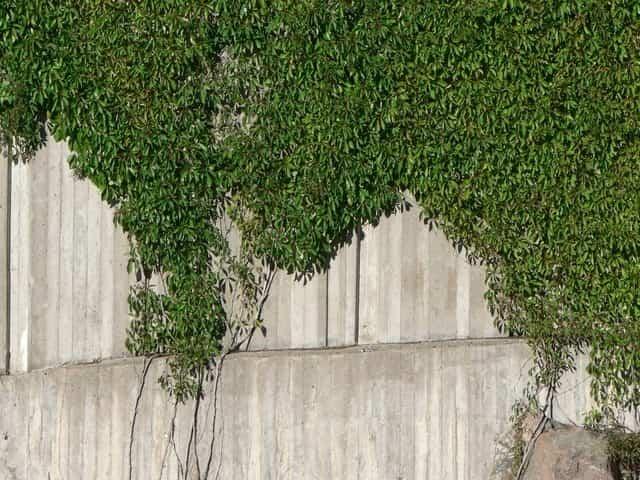 Plantas trepadoras 2