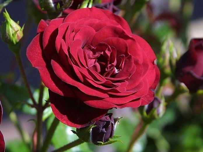 Tipos de rosas 1