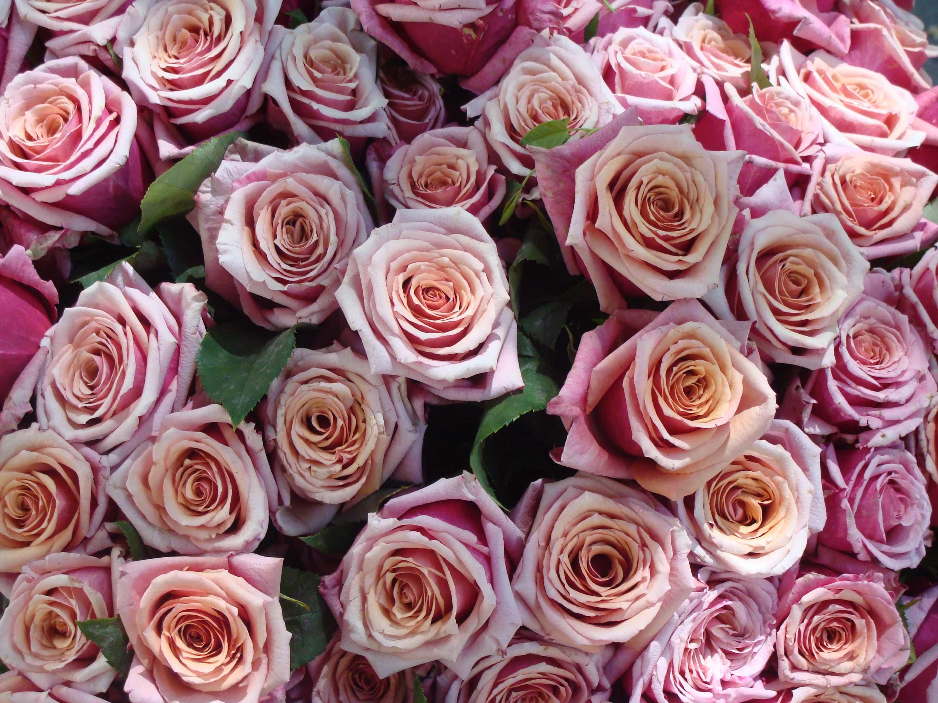 Tipos de rosas 2
