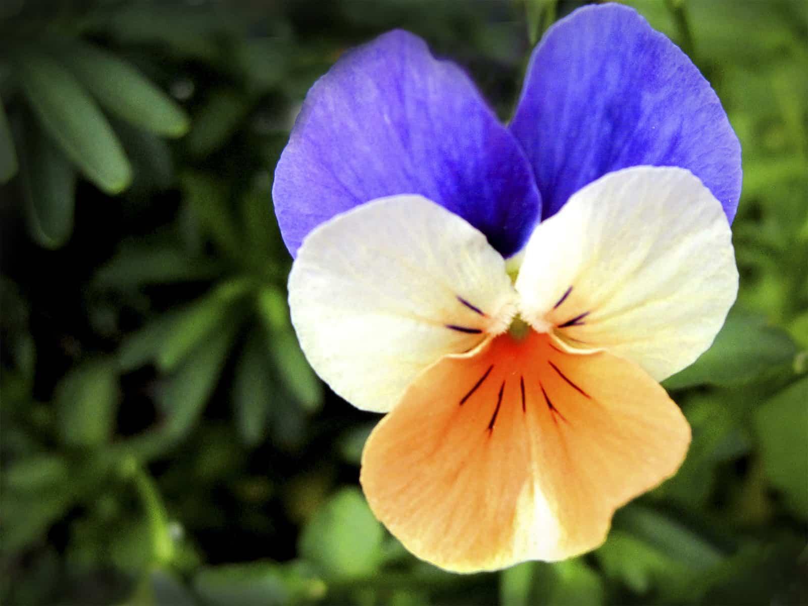 flor del pensamiento