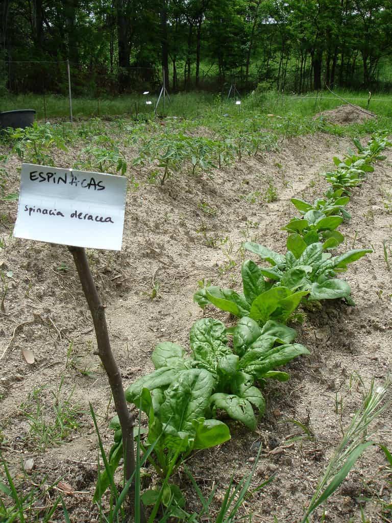 Espinaca para plantar en otoño