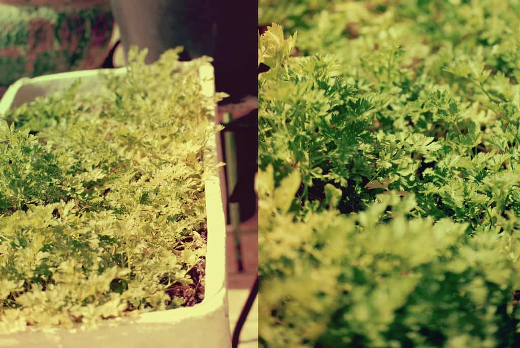 Perejil para plantar en otoño