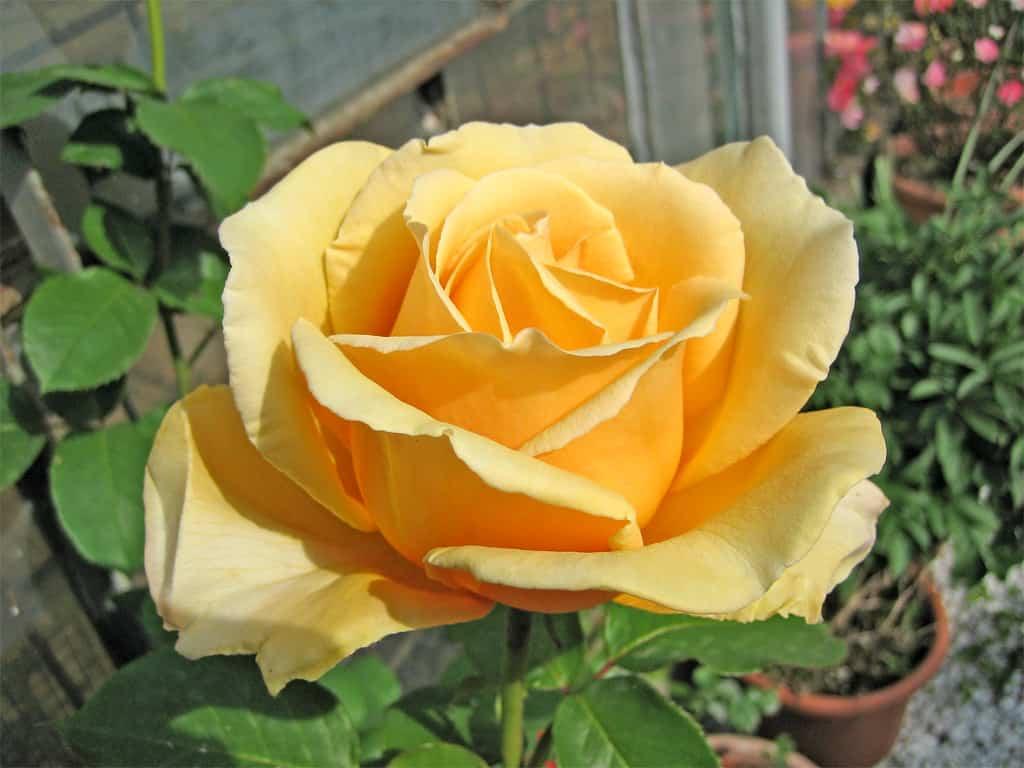Cómo cuidar a tus rosales