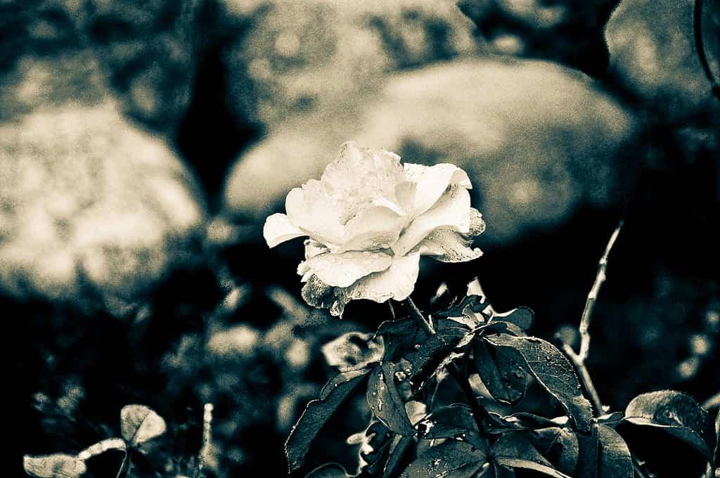 Como cuidar a tus rosales