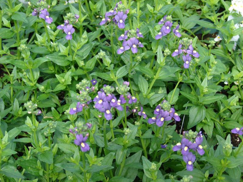 Diferentes plantas tipo aromáticas