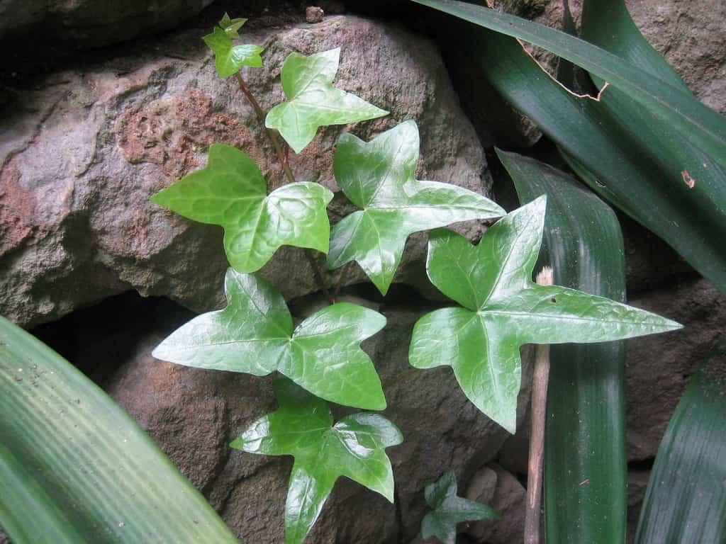 Pautas para el cultivo de una trepadora